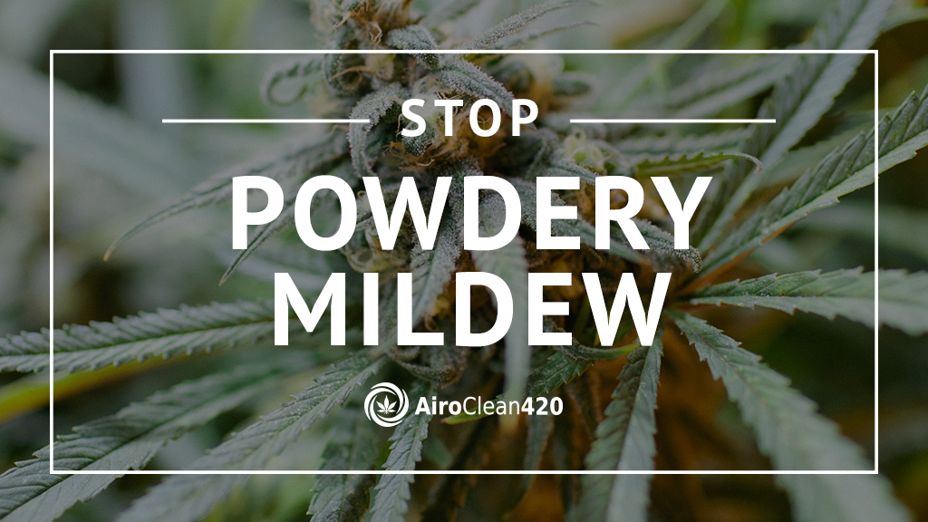 Stop powdery mildew on cannabis