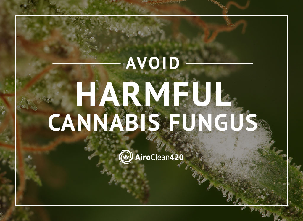 Avoid harmful cannabis fungus - learn how you can
